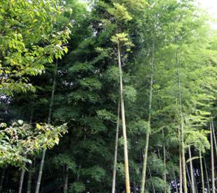 竹林が6つ以上あります。写真は小さい竹林です。