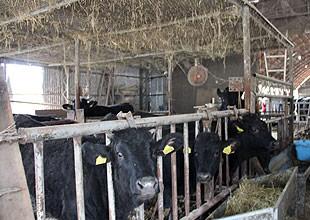 沖野氏の牛舎。牛の体調管理に気をつけている。