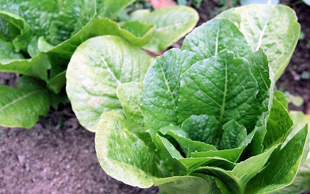 「葉物は虫がつきやすいと言われていますが、全く食われていません。